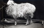 Karakul fat tailed sheep of Turkistan, undated