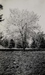 Fruit tree at South Dakota State College, undated