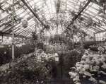 Dr. N.E. Hansen in a South Dakota State College greenhouse, undated