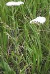 Achillea millefolium by R. Neil Reese