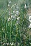 Delphinium virescens