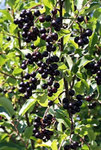 Prunus virginiana