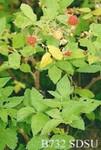 Rubus idaeus subsp. sachalinensis