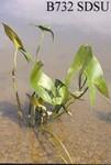 Sagittaria cuneata