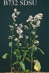 Aster ciliolatus