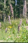 Agastache foeniculum by R. Neil Reese