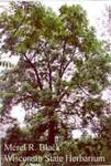 Juglans nigra
