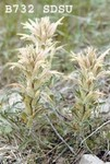 Castilleja sessiliflora