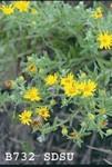 Chrysopsis villosa