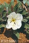 Oenothera caespitosa