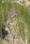 Tradescantia occidentalis