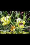 Calylophus serrulatus