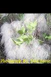Clematis ligusticifolia